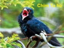 Chim Tu hu 1